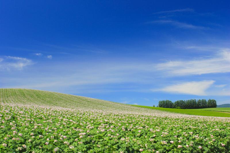 パッチワークの丘のジャガイモ畑